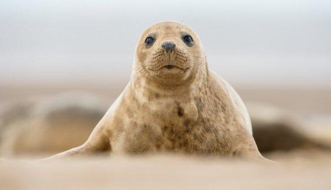 Liepājas pusē piekrastē atrasts šopavasar pirmais roņu mazulis