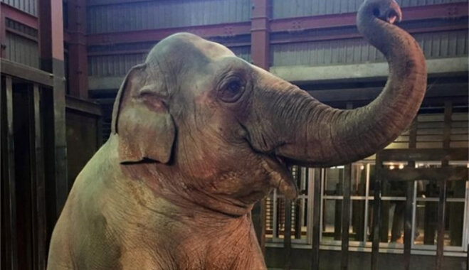 Slavenā Rīgas zoodārza ziloņmeitene Zuze Japānā svin 28. dzimšanas dienu