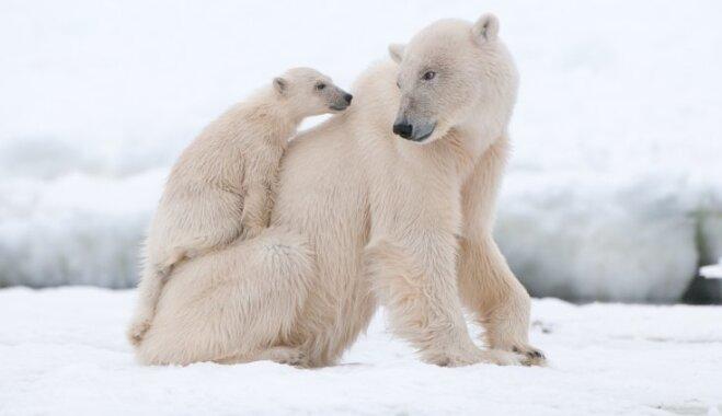 Ilgākā grūsnība un smagākie bērni – dzīvnieku pasaules varonīgās mātes