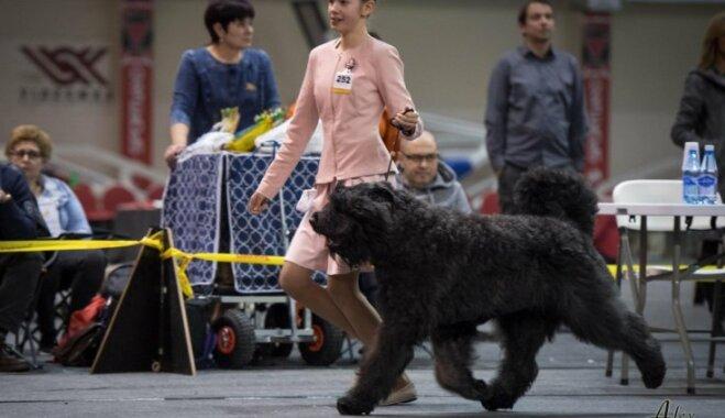 Kas ir suņu hendlers? Trīspadsmitgadīgās Ances pieredzes stāsts