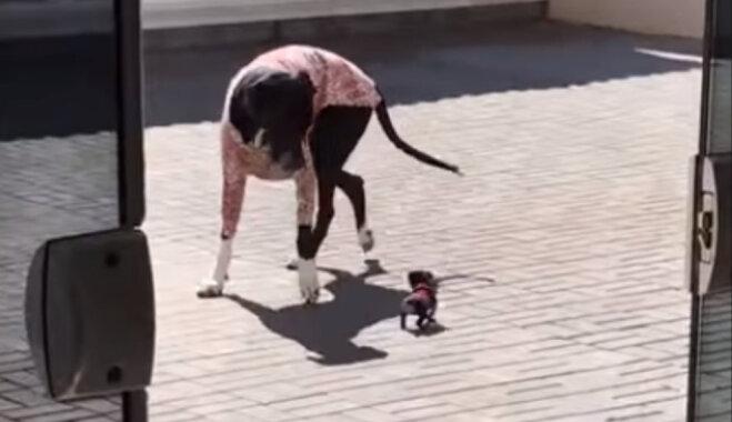 Video: Kucēns 'noliek pie vietas' lielu suni