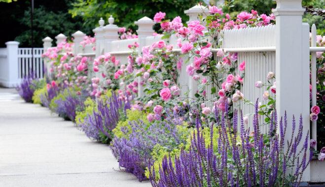 Aromātiskās lavandas kā akcents dārzā: sešas idejas violeto augu izcelšanai