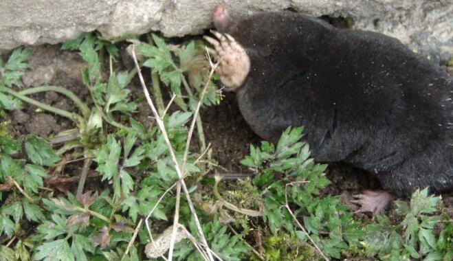 Cīņa ar kurmi: kā aizbiedēt nevēlamo dārza apakšīrnieku
