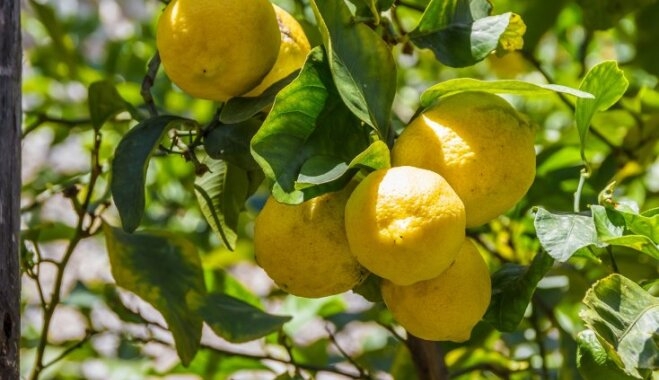 Солнечный фрукт здоровья: почему лимон так полезен и как правильно его употреблять