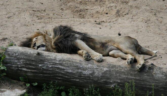 Septiņi dzīvnieki, kuri itin nemaz necieš no miega bada