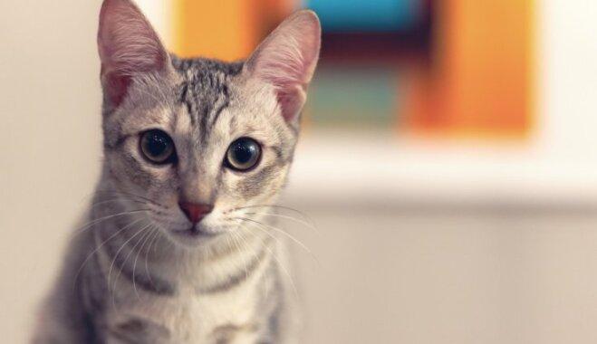 Miers saimniekam, veselība mīlulim – septiņi iemesli, kāpēc kaķis jāsterilizē