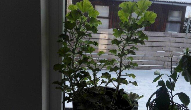Pēc ziemas miega – kā rūpēties par pelargoniju, lai tā vasarā skaisti ziedētu