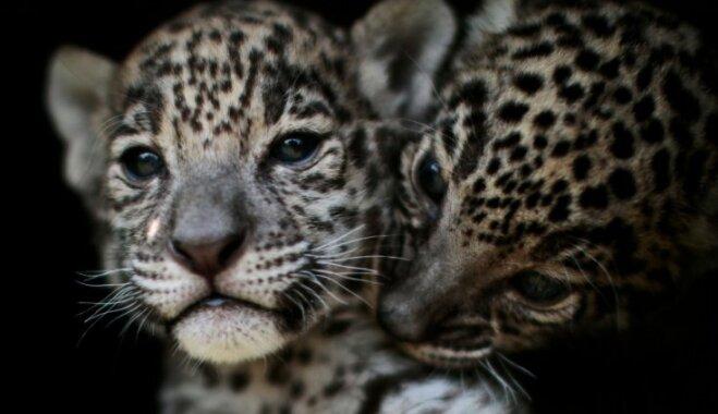 Mīļi foto: Jaguāru dvīnītes, kas cilvēka smaržas dēļ nošķirtas no mātes Meksikā