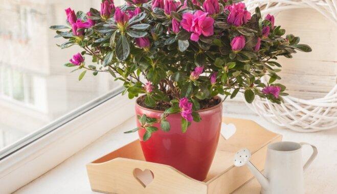 Acālijai strauji birst lapas un ziedi: kas kaiš telpaugam