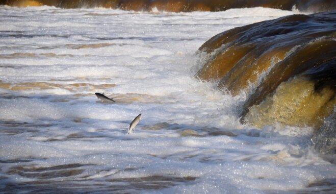 Foto: Kuldīgas pavasara 'šovs' – pāri Ventas rumbai lido zivis