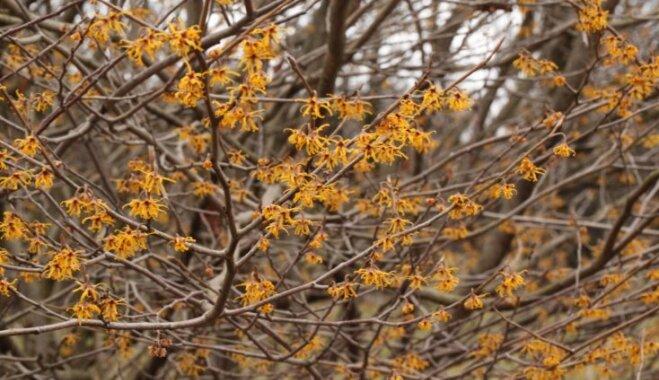 Pavasara vēstnese, kas zied par spīti salam – burvjulazda un tās audzēšana