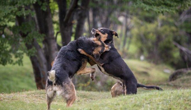 Padomi, kā rīkoties, ja tavam četrkājainajam draugam uzbrūk agresīvs suns