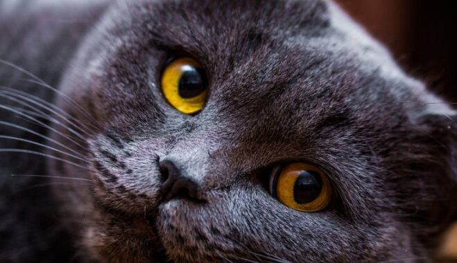 Klusākie, lielākie un nešpetnākie: atrodi sev piemērotāko kaķu šķirni