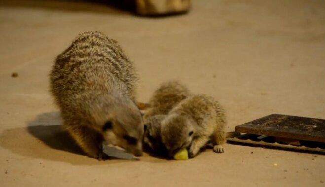 Video: Rīgas zoodārza surikatu saimei pievienojušies divi žiperīgi zvēriņi