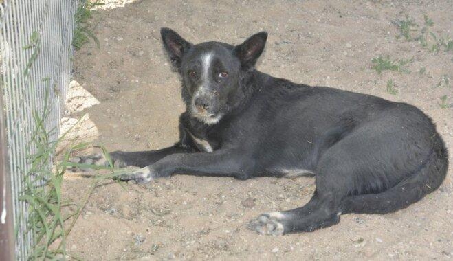 Novārgušai suņu meitenei nepieciešama ārstēšana; lūdz līdzcilvēku palīdzību