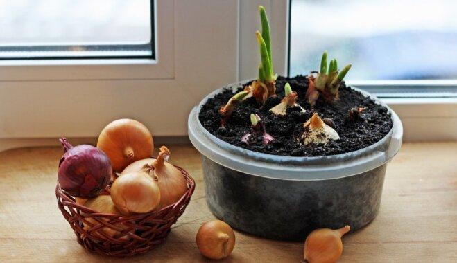 Stādām sīpolus un audzējam pirmos zaļumus – padomi sulīgai pirmajai ražai