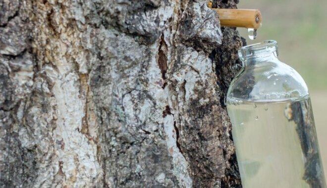 Bērzu sulas bioloģiski aktīvais spēks – efektīvāks pirmajās stundās pēc tecināšanas