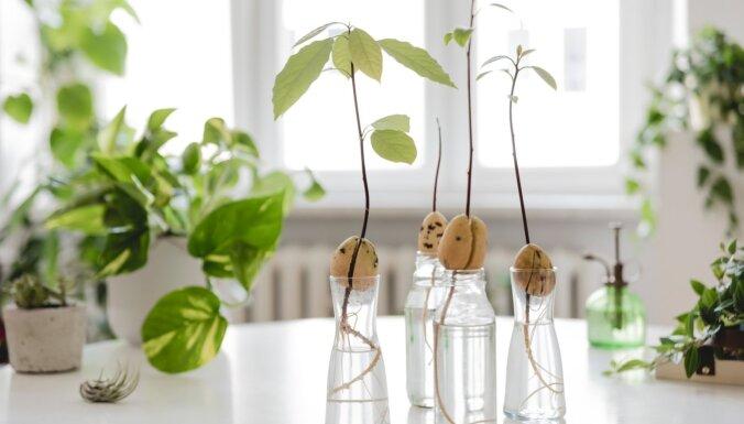 Ingvers, ananass vai avokado. Kā izaudzēt eksotisku augu no pārpalikumiem