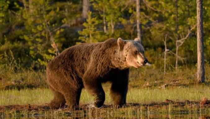Kokneses apkaimi apciemo lācis