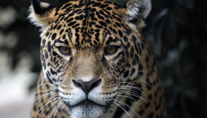 В зоопарке ягуар напал на женщину, делавшую селфи около его клетки