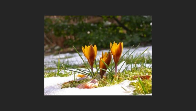 Pavasaris, krokusi. Foto: Nick Lobeck
