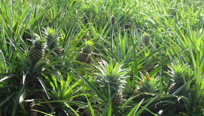 ФОТО. От слабительного до вкуснейшего фрукта. Как и где растет сочный ананас
