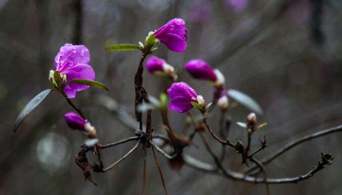 Foto: Pavasarīgas vēsmas Lāčupītes dendrārijā