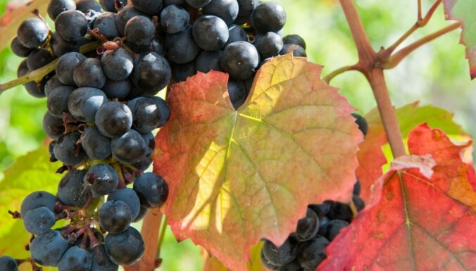 Vīnkoku apgriešana rudenī: ķerties klāt tikai pēc lapu nobiršanas