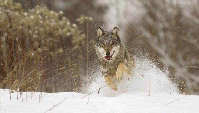Необычный случай в Эстонии: волки задрали пони на конюшне