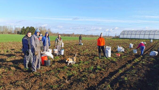 Foto: Zemnieku saimniecībā Latgalē novembrī novāc kartupeļus