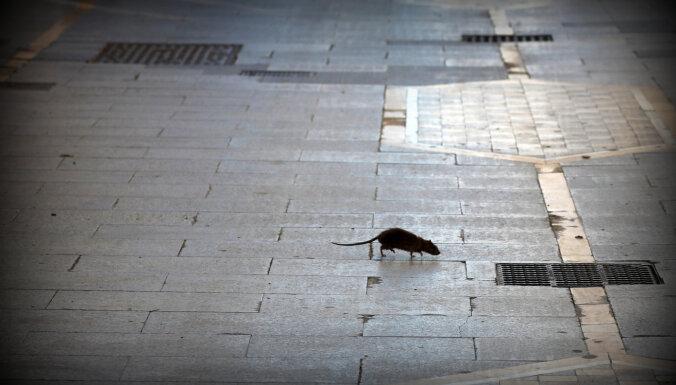 Rīgā glābēji noķer sikspārni un bērnus apdraudošu žurku