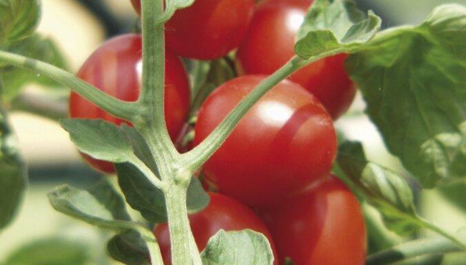 Atkritumu poligonā 'Getliņi' novāks pirmo tomātu ražu
