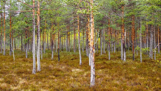 Gulbenes novadā atrod mežā apmaldījušos jaunieti