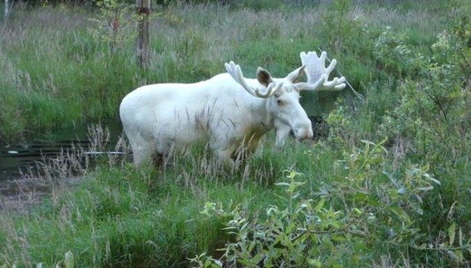 Video: Viens no simta – Zviedrijā manīts retais baltais alnis