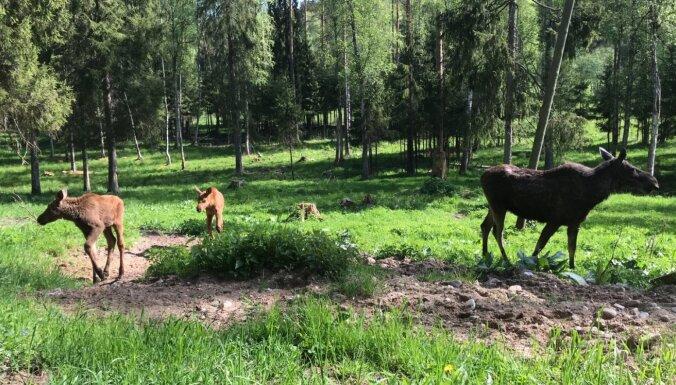 Līgatnes dabas takās svētki: aļņu ģimenei pievienojas dvīnīši