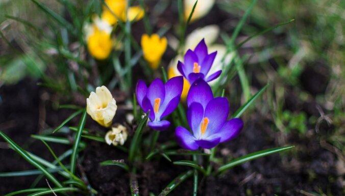 Nākamās nedēļas vidū sāksies astronomiskais pavasaris