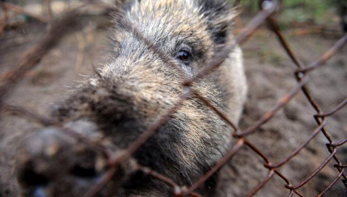 Āfrikas cūku mēris šonedēļ Latvijā konstatēts piecām mežacūkām