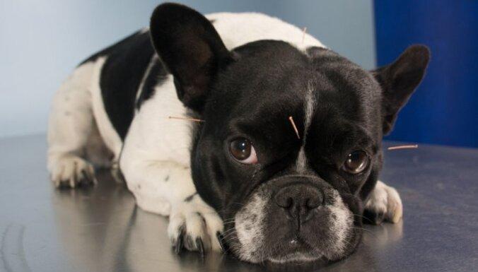 Akupunktūra – alternatīva ārstniecības metode ne tikai cilvēkiem, bet arī dzīvniekiem