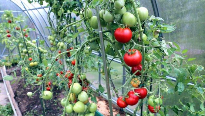 Pirmās ražas gaidās: kā pareizi rūpēties par tomātu stādiem siltumnīcā