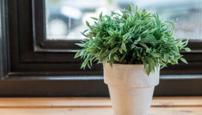 Naudas koks, orhideja un citi telpaugi: padomi dažādu mājas rotu audzēšanā