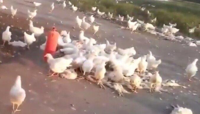 Luhanskā brīvībā izlaužas vistas kanibāles