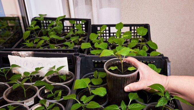 Baklažānu audzēšanas viltības: kad sēt un kā lolot, lai izaudzētu brangu ražu