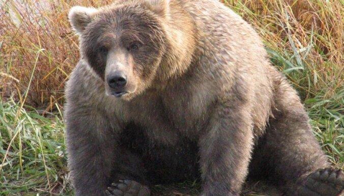 ФОТО. На Аляске выбрали самого толстого медведя