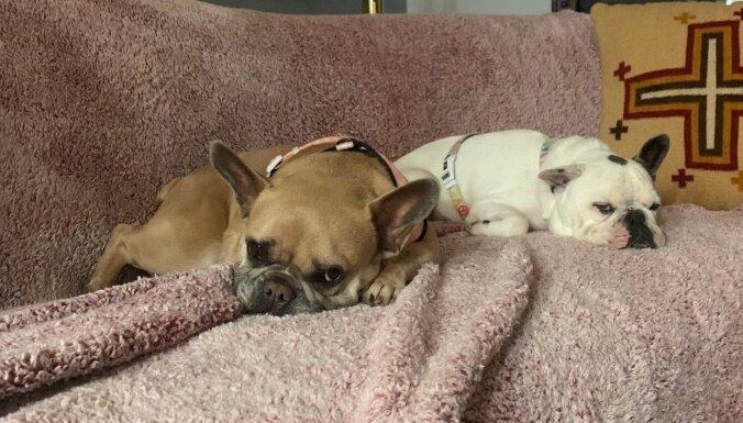 Арестованы похитители собак Леди Гаги