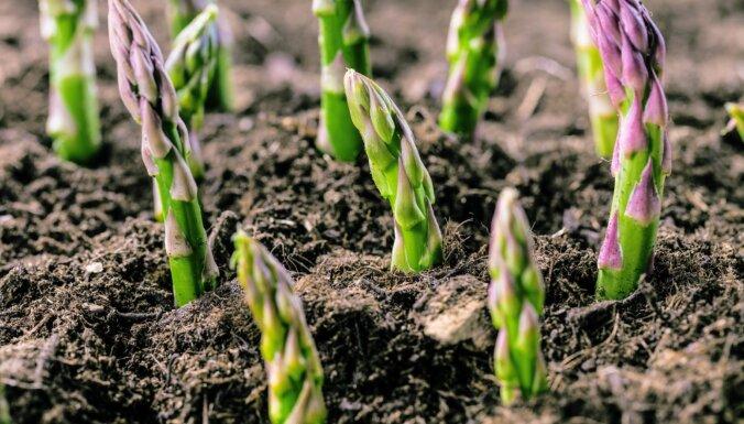 Kā dārzā audzēt sparģeļus