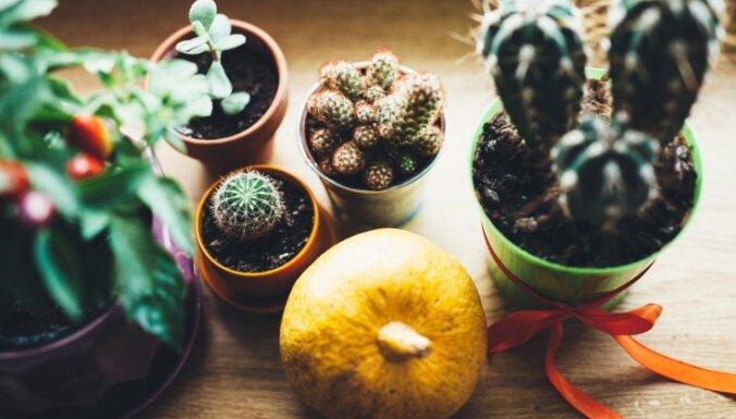 Adatainie skaistuļi kaktusi – padomu izlase augu kopšanai