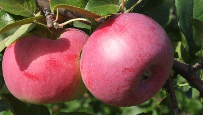 Антоновка или Janagold: как отличить местные яблоки от польских?