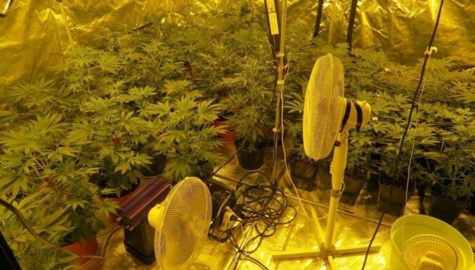 Kādā Jūrmalas privātmājā atklāj marihuānas plantāciju
