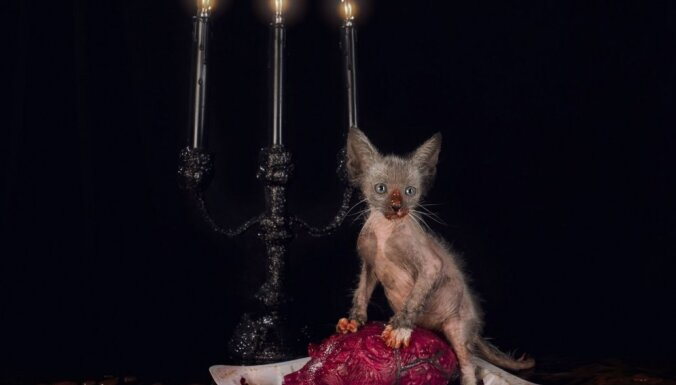 Kā izskatās baisākie kaķi pasaulē jeb 'Velna' runču lāsts