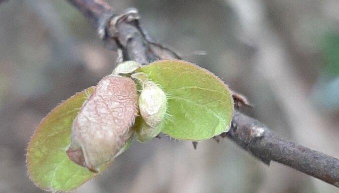 Dārza darbu kalendārs: augļu un ogu dārzs martā